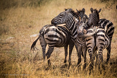Serengeti, Tanzania, June 2017 (Catherine Gidzinska and Simon Gidzinski) Tags: 2017 4 africa june mararegion tanzania zebra animal safari ngc group