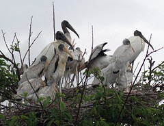 Rain Huddle (PelicanPete) Tags: wetlands florida southflorida spring unitedstates usa wacodahatcheewetlands delraybeachflorida nature beauty colorful bird aviancapture wildlife inthewild woodstork nest canopy treetop sunlit twotone feathers longbill mycteriaamericana stork lateafternoon greatlight handheld outdoor animal aquaticbird siblings newstorkcity nesting greenleaves allinthefamily storks familyaffair groupshot stand whitecoat rain springshowers chicks standing inadownpour raining pouring cool downpourgrounded tree leaves sky drops rainhuddle circle huddle circleoftrust ngc npc
