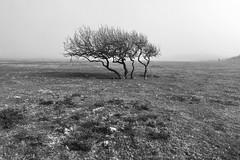 Dyffryn Ardudwy (Rhisiart Hincks) Tags: blackandwhite duagwyn distaw calm quiet llonydd seaside glanymôr wales kembre cymru gwynedd ardudwy mist tree niwl hawthorn draenenddu coeden landlandscape tirlun maezioù paisaje tírdhreach paisaia cruthtìre