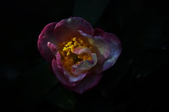 Camellia in the dark (Off on Holidays) Tags: camellia