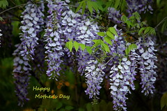 Happy Mother's Day (Judecat (easing into summer)) Tags: nature mygarden wisteria flowers purple spring mothersday