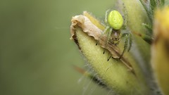 Patiently waiting... (- A N D R E W -) Tags: araña spider spring primavera insect nature naturaleza gorse bokeh depth dof macro bright light luz color