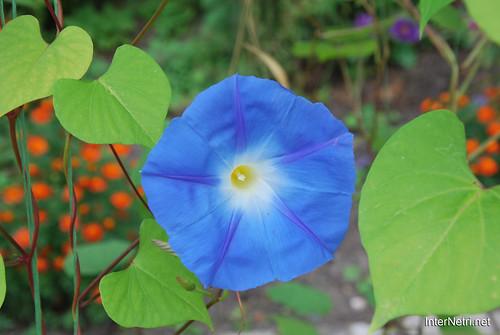 Квіти Кручені паничі InterNetri Ukraine 25