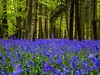 Bluebells As Far As The Eye Can See (Mad Cow Imagery) Tags: countryside woodlands canonefs1855mmf3556isstm canoneos80d britishsummertime bst springtime spring woods wood park tree forest bluebells pryor'swood hertfordshire stevenage england gb greatbritain uk unitedkingdom flowers