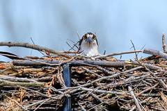 Gawking... (PerfumeG2011 (on and off )) Tags: pandionhaliaetus nature birds ontario osprey 2018 nest birdsofprey ontariocanada canada
