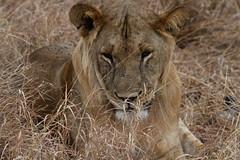 Lion - Male (sr667) Tags: magugumanyararegiontanzania magugu manyararegion tanzania tz animalia chordata mammalia carnivora feliformia felidae pantheraleo panthera magugutanzania africa pleo lion malelion