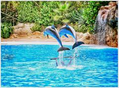 Dolphin show. Loro park. Tenerife (wilstony1) Tags: tenerife loroparque summer outdoor panasoniclimixgx7 snapseed touristattraction colourful show display