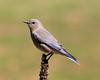 Female Mountain Bluebird (Renee Wood) Tags: bluebird mountainbluebird female farragutstatepark idaho nature