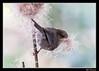 Female American Bushtit gathering-1 (billthomas_steel) Tags: cattails lowermainland fraservalley americanbushtit bird backyard britishcolumbia nestingmaterial nestingtime wildlife canada canon eos7dmarkii