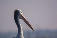 Australian pelican (Pelecanus conspicillatus) (brent.henriksen) Tags: bird big head beak bill pelican native wildlife animal white pink eye sun profile feathers neck westerntreatmentplant werribee melbourne victoria australia nikond7100