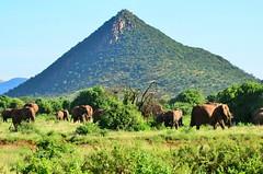 Саванный слон, Loxodonta africana, African Savanna Elephant (Oleg Nomad) Tags: саванныйслон loxodontaafricana africansavannaelephant африка кения самбуру сафари животные млекопитающие природа africa kenya samburu nature animals safari mammals travel