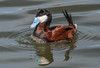 Ruddy Duck (Oxyura jamaicensis) (fugle) Tags: ruddyduck lemmonvalley skyvistapond duck waterfowl divingduck washoeco nevada