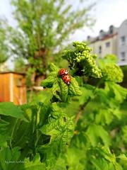 Ladybugs in good hope (Tabea-Jane) Tags: ladybugs good hope garden nature spring colors marienkäfer hoffnung garten frühling farben natur leipzig sachsen saxonia germany