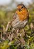 Robin (barabra.collins) Tags: animal nature robin bird closeup colourful foliage leaves trees tree redbreast red twig twigs