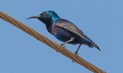 Purple Sunbird (_N@ren_) Tags: bird animal sunbird purple beak