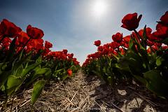 Flowerbulbs 5 - Tulips (Manuel Speksnijder) Tags: bloemen flowers holland zuidholland southholland hillegom hofduynlaan stationsweg nederland thenetherlands bollen bulbs bloembollen flowerbulbs bollenstreek bulbregion tulpenvelden tulipfields tulp tulip velden fields tulpen tulips tulipfield tulpenveld rodetulpen redtulips canoneos5dmarkiii canon ef1635mmf28liiusm red rood bluesky blauwelucht blue blauw sun zon