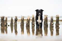 17/52 MissChief (sanneammitzbøll) Tags: misschief border collie mandø water reflection 52weeksofdogs
