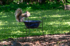 Balancing Act (sctag1015) Tags: squirrels squirrel backyard animal mammal wildlife nature feeder corn