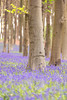 Love Bluebell Woods (~g@ry~ (clevedon-clarks)) Tags: bluebellwood bluebells spring springflowers flowers trees 200mm f28 uk summerflowers summer garden forest woodland southwest england europe shallow dof blue