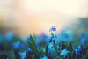 One day? or Day One.  You decide. (Sandra H-K) Tags: spring scillasiberica may flowers flora ontheground blue green canon70d 50mm12 goldenhour bokeh dof nature outdoors hbw happybokehwednesday bokehwednesday