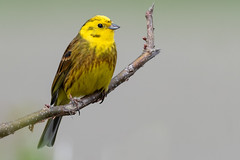 Yellow Hammer Apr 2018 (jgsnow) Tags: bird yellowhammer