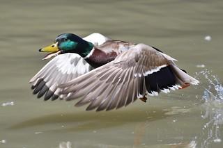 Canard colvert - Anas platyrhynchos - Mallard
