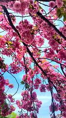 Cherry Blossom Tree (SurFeRGiRL30) Tags: cherryblossom pinkcherryblossom japanesecherryblossom cherryblossomtree pink flowers springtime spring beautiful pretty gorgeous nature