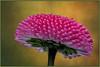 Bellis (Julius310) Tags: flower nikon macro makro frühling spring natur nahaufnahme frühblüher pflanze kleinpflanzen frühjahr garten naturfotografie bellis perennis botanik makrofotografie tausendschön motiv masliebchen gänseblümchen thebestofgodscreation