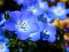 Baby blue eyes (upjohn_freak) Tags: flower fleur fiore blue blu