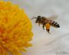 Bee in Flight (Jose Matutina) Tags: bee california costamesa fairviewpark insect nature orangecounty pollen