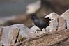 Gallinella d'acqua _005 (Rolando CRINITI) Tags: gallinelladacqua uccelli uccello birds ornitologia legnano natura