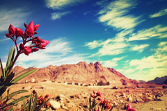 Oleander flowers on background against sky and picturesque desert landscape. (alena.alekseeva.rudenko) Tags: oleander desert flowers pink blooming bush sky landscape mountains picturesque springtime colors petal blossom decoration tree green rose leaf plant beauty backgrounds nature flowerbed botanic horizontal gardening foreground season climate biology natural colored selective botany focus tinted toned coloration effects filters egypt