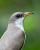 Yellow-billed Cuckoo (PeterBrannon) Tags: bird coccyzusamericanus florida lettucelake nature tampa wildlife yellowbilledcuckoo alone breather closeup spring springmigration
