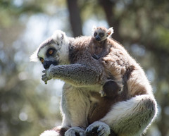 Twins (littlestschnauzer) Tags: twins baby babies young lemur lemurs mum family ringtailed 2018 uk spring yorkshire wildlife park tourist attraction primates woodland trees nature