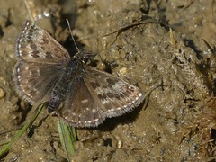 Dingy Skipper (ukstormchaser (A.k.a The Bug Whisperer)) Tags: dingy skipper skippers uk butterfly butterflies animal animals wildlife milton keynes buckinghamshire insect insects may afternoon macro ground