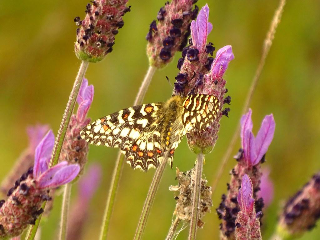 Águas Frias (Chaves) - ... borboleta e as alfazemas (lavanda) ...