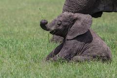A bit of fun! (Ring a Ding Ding) Tags: africa ascilia elephant loxodontaafricana namiriplains serengeti tanzania baby endangered nature playing safari wildlife shinyangaregion coth5 ngc
