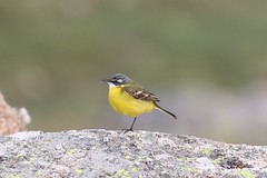Yellow Wagtail - Iberian Race (motacilla flavia iberiae) (mrm27) Tags: wagtail yellowwagtail motacilla motacillaflava sierradegredos plataformadegredos spain