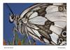 Melanargia galathea (guitarmargy) Tags: butterfly macro insects farfalla animal nature wildlife closeup portrait profilo marcellobardi entomologo toscana italia