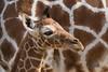 Netgiraffe_Jong_08 (Nick Dijkstra) Tags: artis giraffacamelopardalisreticulata netgiraffe reticulatedgiraffe somalischegiraffe jong