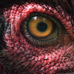 The eye of a chook thumbnail