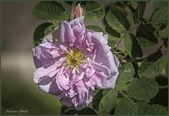 21 aprile 753 a.C. una rosa per Roma (adrianaaprati) Tags: rome ancientrome 2771 21april753bc years antiquities april spring roses ancientroses garden municipalrosegarden birth festivities flower