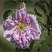 21 aprile 753 a.C. una rosa per Roma