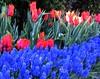 "IMG_0130ee (tombarat) Tags: centralpark nyc usa conservatory""tulip""garden springtime"
