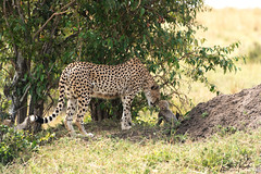 Mother care 2! (Jambo53 (!)) Tags: cheetah cub
