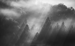 Shadow of a Doubt (Bob Bowman Photography) Tags: monochrome trees light fog rays beams california landscape blackandwhite sonomacounty mist