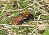 Tawny Mining Bee - Andrena fulva (Prank F) Tags: twywellhillsdales wildlifetrust northantsuk nature wildlife insect macro closeup bee mining tawny andrenafulva