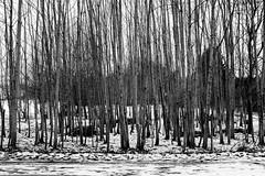 Toothpicks (gambajo) Tags: 1year1town1lens brühl blackandwhite blackwhite black white trees toothpick outdoors public snow winter bleak dismal dreary grim x100s fujix100s fujifilmx100s bäume