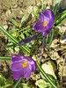 Crocus vernus (Iggy Y) Tags: crocusvernus crocus vernus spring blossom flower purple color flowers green leav nature garden plant proljetnišafran šafran springcrocus giantcrocus sunny day light