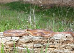 San Joaquin Coachwhip (Masticophis flagellum ruddocki) (David A Jahn) Tags: san joaquin coachwhip snake masticophis flagellum ruddocki northern california